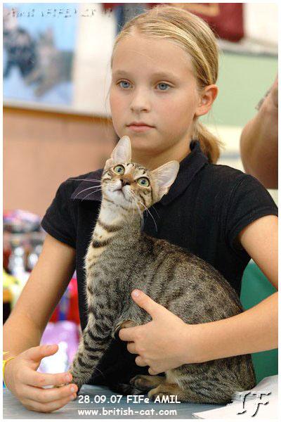 До какого возраста вяжут британских кошек